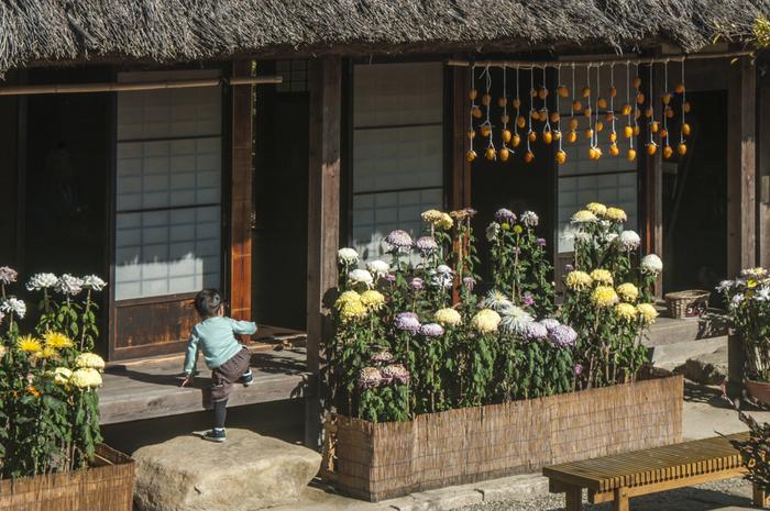 茅葺(かやぶき)の古民家の縁側。菊の花が見事ですね。干し柿が吊られているのも風情があります。