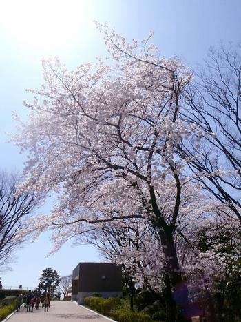 散策地区では、春になると約300本もの桜が満開になるお花見スポットとしても大人気です。桜だけでなく、紫陽花や薔薇、紅葉など様々な植物が植えられているため、四季を通じて楽しめます。