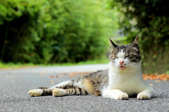 田代島ではかつて養蚕が行われていたため、蚕の天敵であるねずみを駆除してくれる猫が大事にされていました。