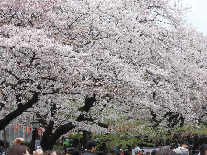 上野駅から徒歩5分程で到着できるのも嬉しいですね。不忍池にはボートもあって、ボートに乗っての桜見物もなかなかオツですよ。ソメイヨシノをはじめ、八重桜やカンザクラなど、約60種類の桜を堪能できるスポットです。夜桜も綺麗です。
