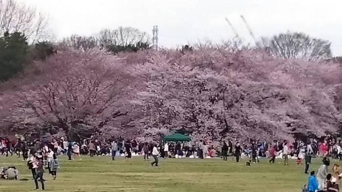 主な桜はソメイヨシノですが、樹齢40年~50年といった大木の桜が多いんです。そのため、枝が下の方まで垂れ下がっており、座ってお花見をしても、目線の近くに桜があって贅沢なお花見タイムを過ごすことが出来ます。