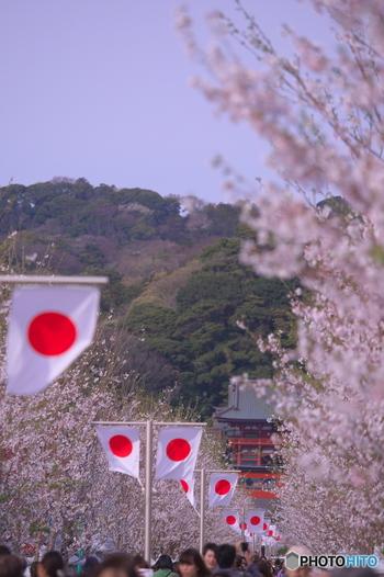 鎌倉駅から鶴岡八幡宮に向かう段葛の桜もとっても素敵。鳥居をくぐりながら、鶴岡八幡宮と段葛の桜を見ながら歩いていると、春が来たなぁと改めて感じることが出来る素敵な参道なんです。