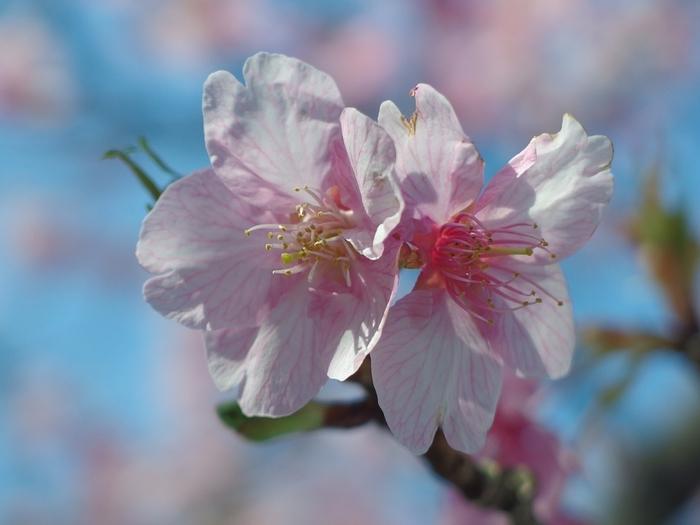 いかがだったでしょうか?春の代名詞でもある桜、都内、そして都内近郊で桜を楽しめる場所はたくさんあります。お散歩兼ねて是非春を体感してみてくださいね。