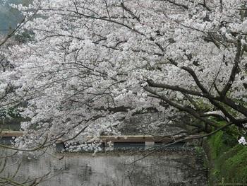 参道だけではなく、鶴岡八幡宮の桜もとても綺麗です。中でも源氏池の桜は溜息ものです。古き良き鎌倉時代にタイムスリップしたような感覚も味わえます。池に舞った桜の花びらも幻想的です。