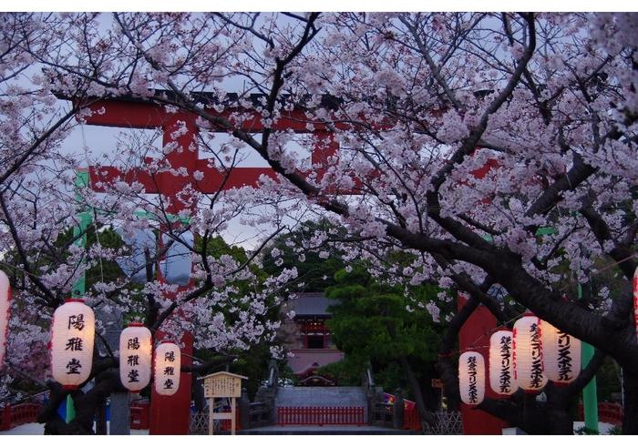 鎌倉の数ある桜の名所の中でも、歩きながらも楽しめ桜の見どころも多いのが、こちらの鶴岡八幡宮です。