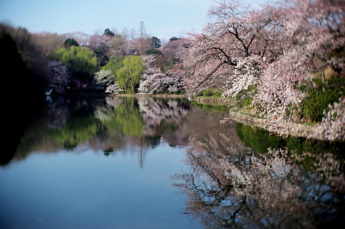 3つの池に囲まれた自然豊かな、三ツ池公園には、カンザクラをはじめ、なんと約1600本もの桜があります。とても広い公園なのでゆっくり散策しながら桜を楽しむことが出来ます。