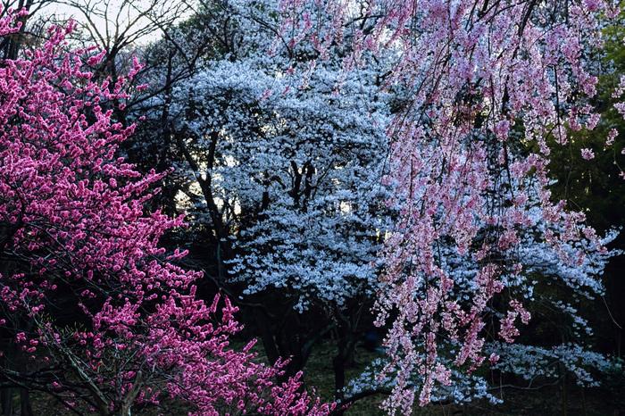 こちらの三ツ池公園も、日本さくらの名所100選に選ばれています。ソメイヨシノや鮮やかなピンク色が印象的な大島桜など、画像のようなピンクの桜のグラデーションも楽しむことが出来ます。2月の上旬からカンザクラが咲き始め、その後ソメイヨシノや遅咲きの霞桜が咲き始めるので、4月下旬まで長めに桜を楽しむことが出来ます。