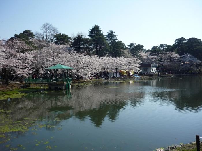 大宮公園の桜の見ごろは4月上旬。夜桜を楽しむこともできます。シート持参の時は冷えないよう温かい羽織物を持参することをお勧めします。