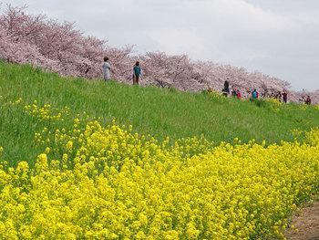 荒川河川敷の熊谷桜堤も、菜の花と桜のコントラストが素敵なスポットで、日本さくらの名所100選にも選ばれています。