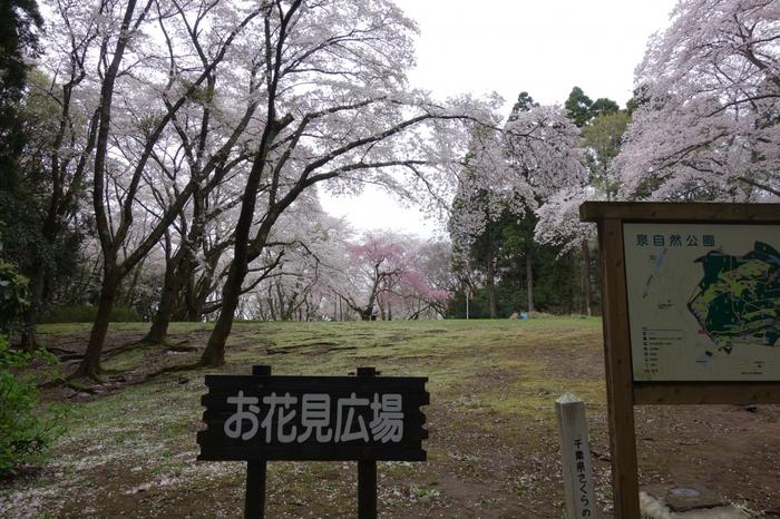とても広い敷地内には、お花見広場が設けられており、みんなでワイワイお花見を楽しむこともできます。桜に溢れた春の清水公園で、春の息吹を感じてみませんか?