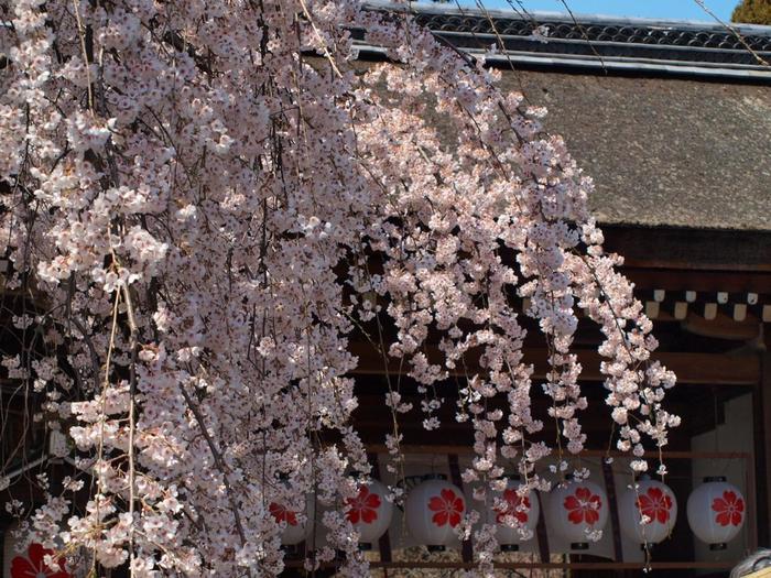 【京都の桜の名所「平野神社」『魁(さきがけ)』。見頃は、例年3月中旬から下旬頃で、神社が推奨する桜10種の中で、最も早く咲く桜です。】