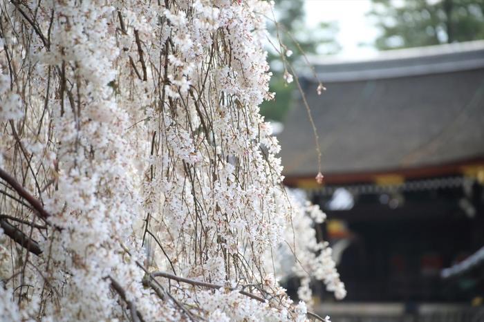 【京都御所・「朔平門」前の糸桜】
