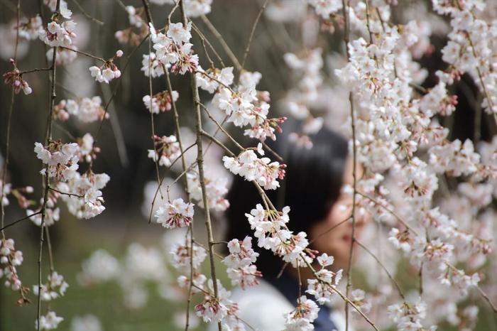 【京都御苑の枝垂れ桜】