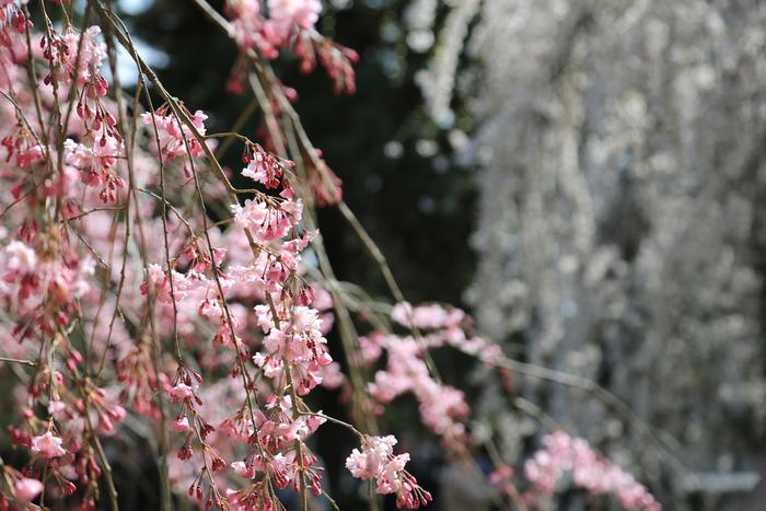 【京都御苑・近衛邸跡に咲く『八重紅枝垂』】