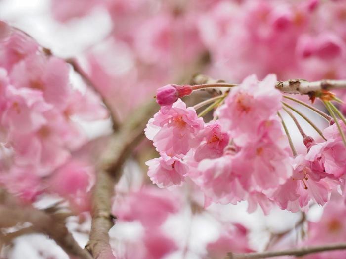 【京都府立植物園の桜林の『八重紅枝垂れ桜』】