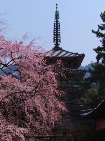 【府内最古の木造建「五重塔」と樹齢100年を超える枝垂桜。】