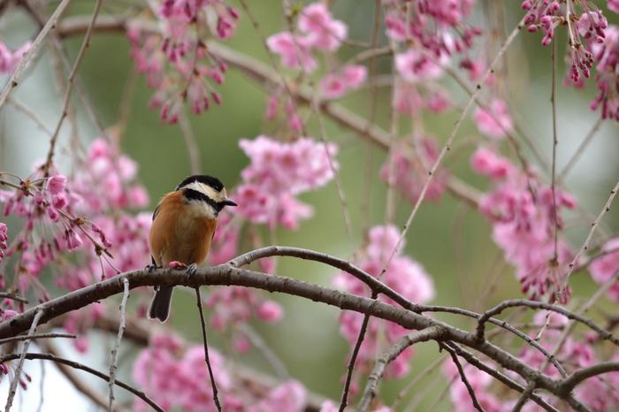 【京都御苑・ヤマガラも枝垂桜にうっとり。】