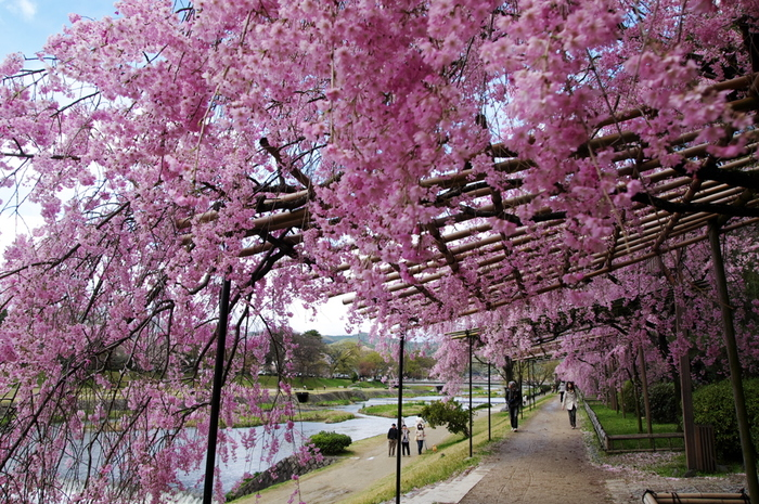 """はんなり、うっとり。枝垂れ桜に恋する""""わたしの京都旅"""""""
