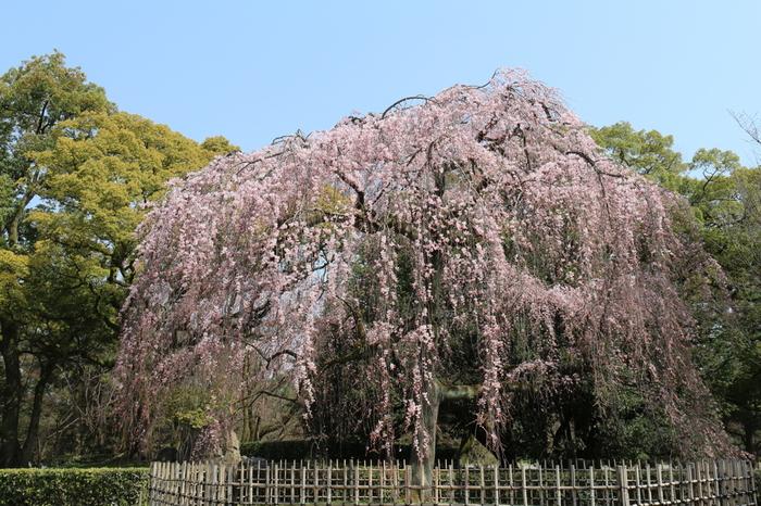 【京都御苑・南西の「下立売御門」近くに広がる「出水の小川」の『糸桜』。「出水の小川」の周囲には、様々な品種の里桜が花開きます。御苑の桜のスポットの一つです。】