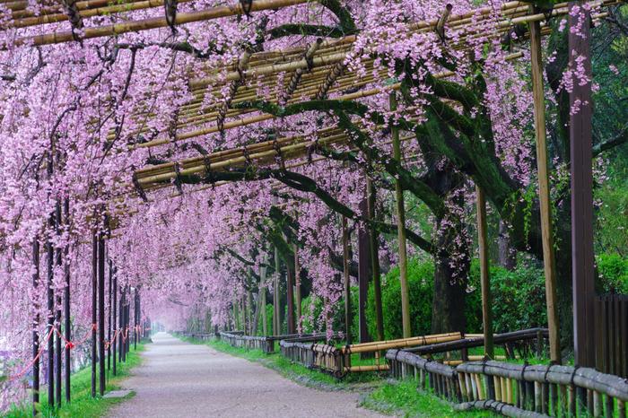 """【賀茂川の遊歩道""""半木の道""""は、遅咲きの『八重紅枝垂』が続く桜のトンネル。見頃は4月初旬から咲き始め4月10日前後。】"""