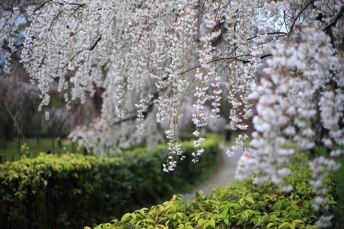 【「旧近衛邸」の枝垂れ桜『糸桜』。「旧近衛邸」の枝垂れ桜は、早咲きの『糸桜』と遅咲きの『八重紅枝垂』の二種。『糸桜』は3月下旬、『八重紅枝垂』は4月初旬から見頃を迎えます。】