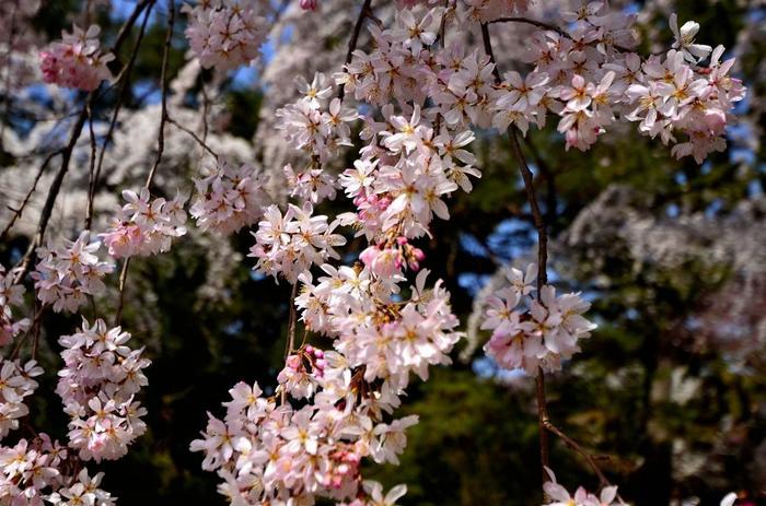 【京都の早咲きの桜として良く知られる京都御苑・旧近衛邸庭園の『糸桜』。例年、月中旬頃開花、下旬に見頃となる。】