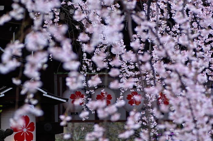 【白い一重の花弁の花を付ける『魁(さきがけ)』】
