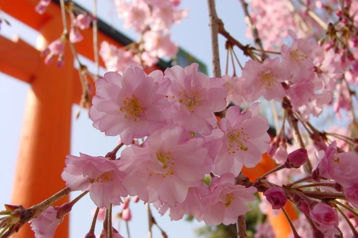 【平野神社の枝垂れ桜】