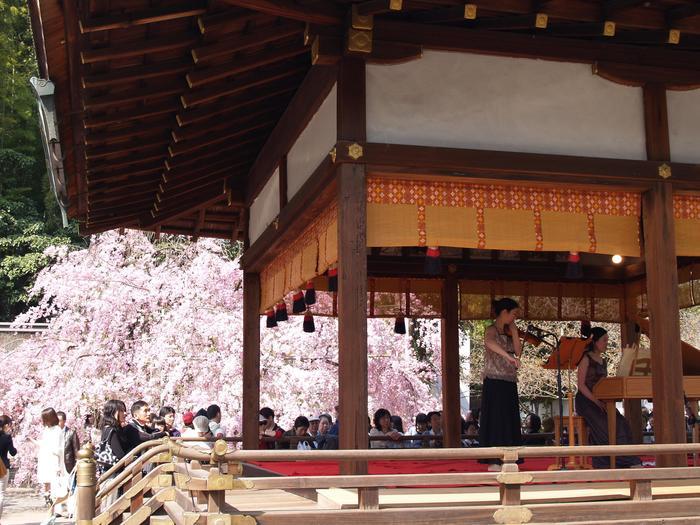 """【舞殿と紅枝垂れ桜。平野神社では、毎年4月前半に""""桜コンサート""""を開催しています。詳細は公式HPで。】"""