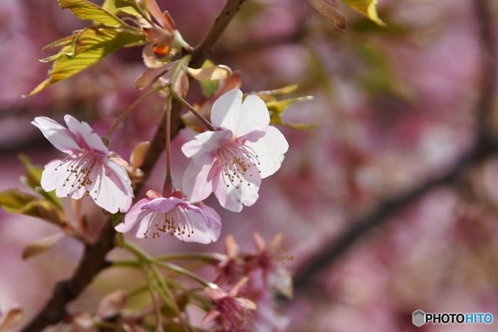 もうすぐ春です。春は桜が満開に咲き、毎年その儚いピンクに心踊らされますよね。今年は桜を見るだけではなく、塩漬けにしてお料理にも桜を活用してみませんか?今回は桜の塩漬けレシピと、塩漬けを使ったアレンジレシピをご紹介したいと思います。
