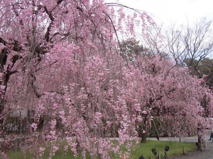 【「清流園」の『紅枝垂れ桜』】