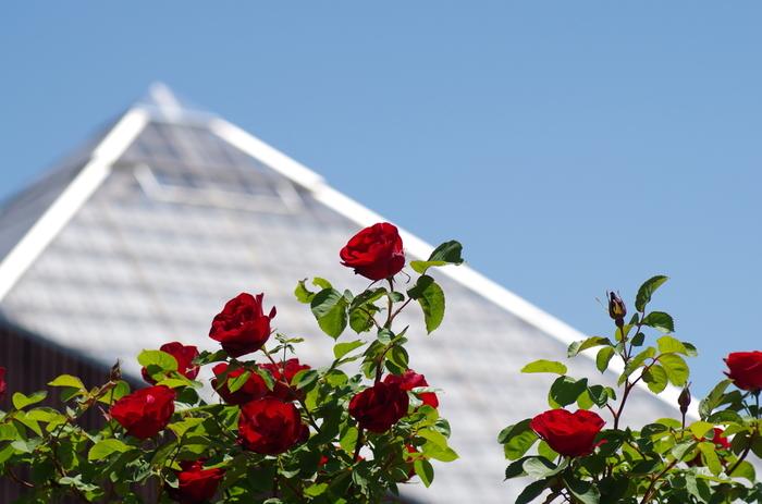 2013年7月にリーニューアルオープンしたバラ園。約4万平方メートルの広大な敷地内に、7月上旬から10月中旬まで、約8600株のバラが次々と咲き誇ります。