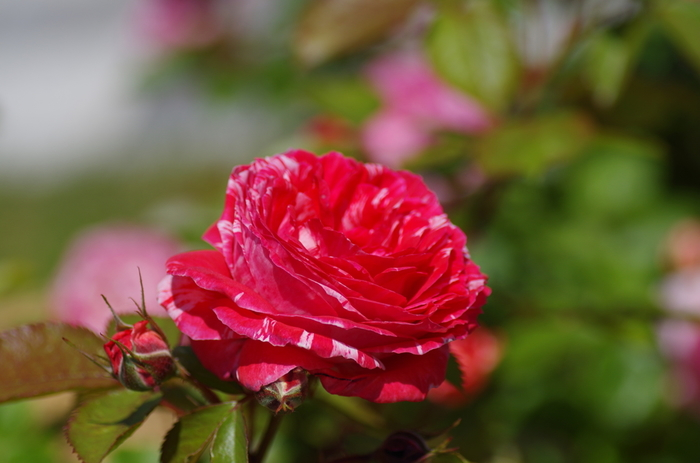 バラの種類はおよそ490種類。大輪系、つるバラ、オールドローズなど、多彩に咲き誇るバラの世界にうっとり♡