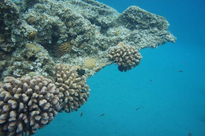 シュノーケリングでは沈没船を間近に見ることができます。こちらは沈没船に生えたサンゴ。