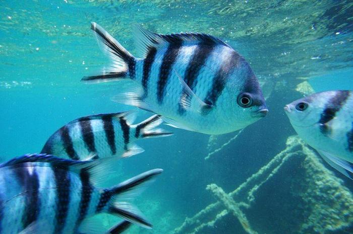 沈没船の周りには魚達もたくさん泳いでいます。こちらはロクセンスズメダイ。
