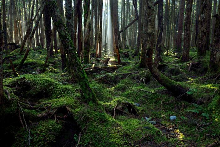 原生林に差し込む光に照り映えた、美しい苔の表情。