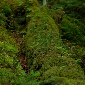 緑のじゅうたんのような「白駒の森」。
