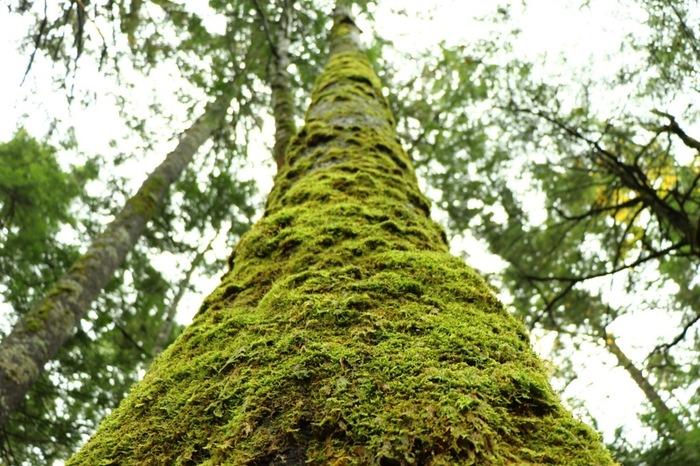 北八ヶ岳苔の会主催の「北八ヶ岳 コケと湖沼と原生林の祭典 森フェスティバル」は、毎年9月はじめに開催されます。  原生林に出掛けたことがない方で、ぜひ行ってみたい! という方にオススメのフェスティバル。苔のスペシャリストと共に回れば、見所もよく分かり、苔の見方も変わって、あなたの苔の世界はさらに広がるはず。