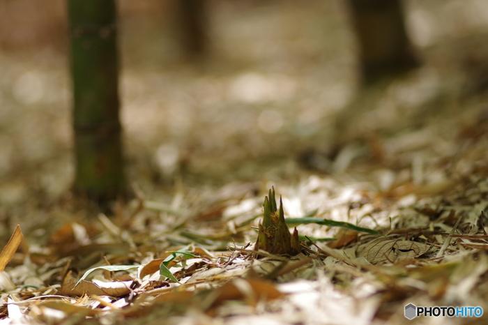 筍(たけのこ)は、春先に地面から少し顔をだしているものを掘り出して食します。時間がたつとえぐみが増すので、皮のついたままの筍を購入した場合は、すぐにお料理するか、あく抜きの下処理をしておく必要があります。