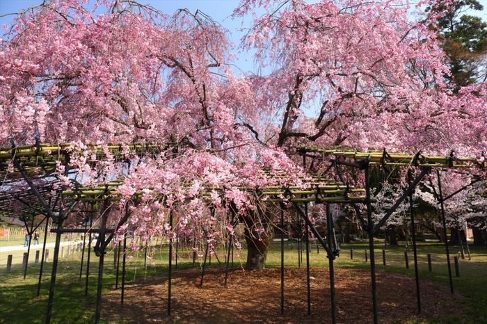 """【上賀茂神社の『斎王桜』は、枝垂れ桜でも""""遅咲き""""タイプ。例年の見頃は、4月中旬頃。】"""