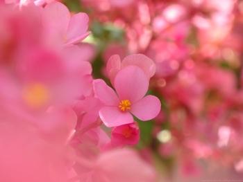 ベゴニアの花言葉は親切』『片想い・愛の告白・幸せな日々』  ベゴニアには挿し木向きの「木立性ベゴニア」、鉢植え向きの「球根性ベゴニア」、観葉植物向きの「根茎性ベゴニア」の3種類が主にガーデニングで利用されています。