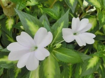 インパチェンスは一度根付いたら根を傷つけないようになるべく植え替えをしないようにすることがポイント。日陰でもわりと良く育ってくれるので玄関先にもおすすめの花です。