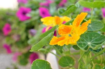 夏らしい、鮮やかな花の色で寄せ植えのさし色にもおすすめ。ナスタチウムの葉や花は、ぴりっとした辛味がアクセントのエディブルフラワーとして利用もできます。サラダや料理の華やぐつけあわせとしてもおすすめ。さらにコンパニオンプランツとしてアブラムシなどの予防も期待できます。
