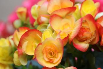 華やかさもあり、贈り物にも喜ばれる美しい花です。