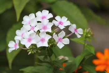 水は少なめで育てるのがポイント。花の色の種類もたくさんあります。寄せ植えの場合は他の花との相性を組み合わせてオリジナルに楽しめます。