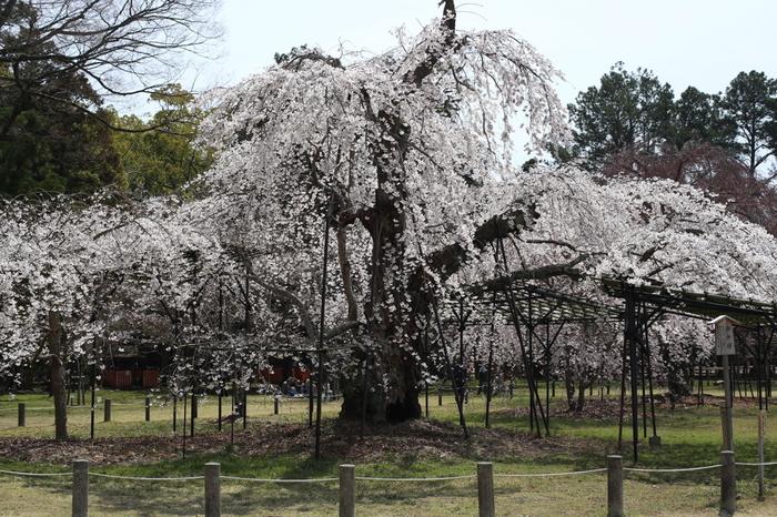 【上賀茂神社『御所桜』。『斎王桜』と共に名の通る名木。御所桜の見頃は4月上旬頃。】