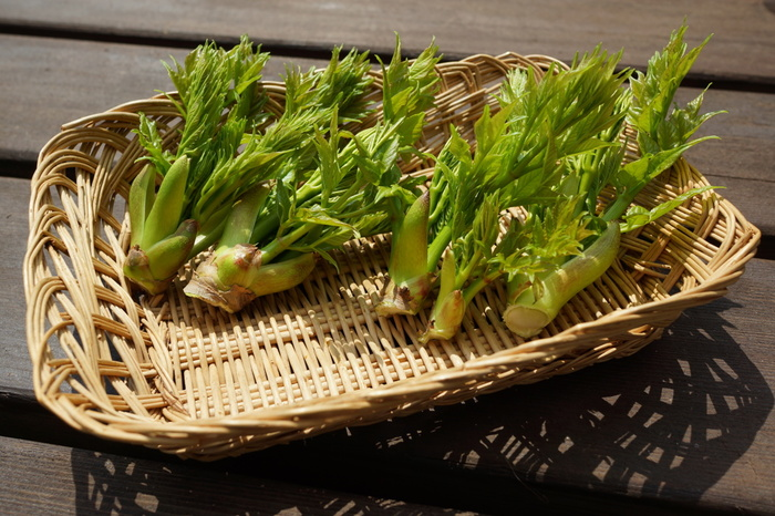 山菜の王様ともいわれるタラの芽。タラの木の新芽の部分を摘み取ったものです。他の山菜に比べてアクが少なく、ほどよい苦味とコク、もっちりとした食感が美味しさのポイント。  揚げ物にする場合はそのまま使いますが、他の場合はさっとゆでて冷水にとります。水にさらしすぎると特徴の苦味が薄れてしまうので、時間は好みで調整してください。