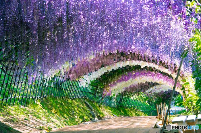 2012年に海外のサイトで「世界の絶景10選」として紹介されてから一躍人気に火が付いた私設の藤園です。日本で一番美しい藤棚と称される藤のトンネルはご覧の通り。写真で見るだけでも夢のような美しさです。これは是非とも自分の目で見て、カメラに納めておきたくなりますね。それにしても藤の花にはこんなに色のバリエーションがあったのかと再確認させられます。白、ピンク、青紫に赤紫。繊細なグラデーションは何時間見ていても飽きません。秋の紅葉も見事です。