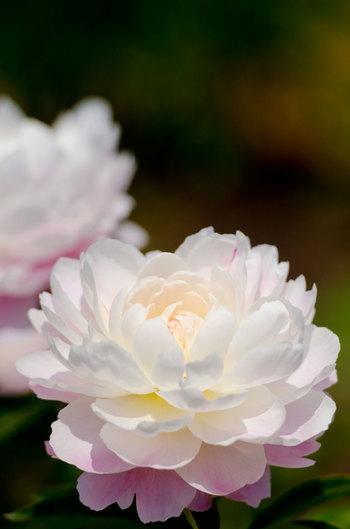 豊臣秀吉の不興を買い、関東へ流されてしまった領主・波多氏とその奥方が愛したという伝説の「切木(きりご)の牡丹」にちなんで開園した花公園です。世界中から集めた109種・5,000本もの牡丹と芍薬が見頃を迎える5月中旬には、それは見事な景色になります。ちなみに「切木の牡丹」は今も公園近くの民家で大切に育てられていて、開花期には公開されていますので是非そちらも合わせてお出かけください。