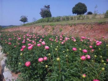 牡丹ほど大きく咲かない分、可憐さでは引けを取らない芍薬。まだ開く途中とはいえ、眼福とはこういう光景を言うのでしょうね。